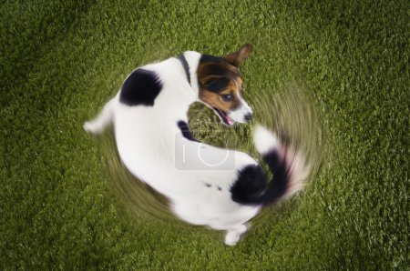 Photo for Jack Russell terrier chasing tail view from above - Royalty Free Image