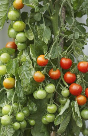 Photo for Tomato Plant - Royalty Free Image