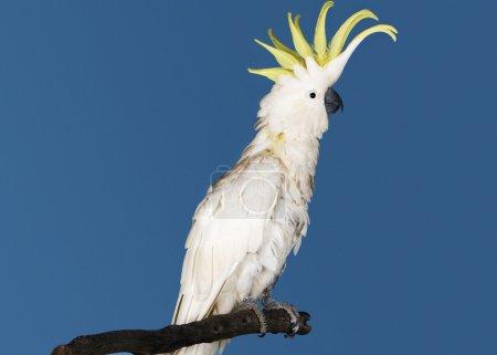 Cockatoo perching