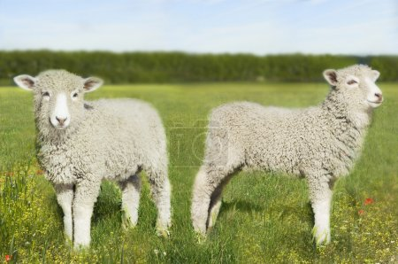 Two lambs in field