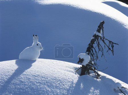 Photo for Snowshoe Hare - Royalty Free Image