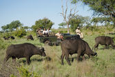 Herd of African buffaloes