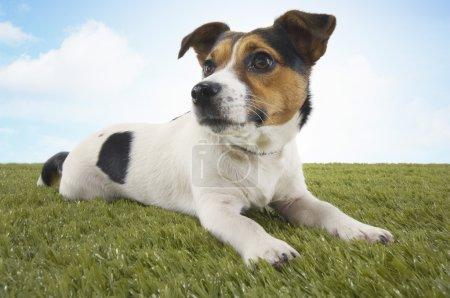 Photo pour Jack Russell terrier couché dans l'herbe tête haute - image libre de droit