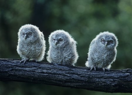 Three Owlets on Branch
