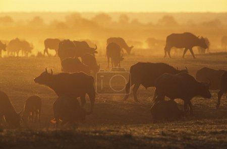 Cape Buffalo grazing on savannah