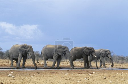 Four African Elephants