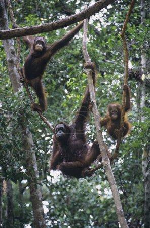 Three Orangutans hanging in trees