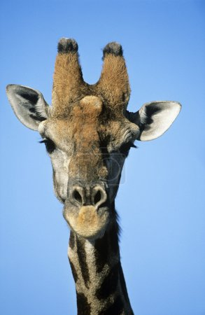 Foto de Jirafa masai (jirafa camelopardalus) de cerca - Imagen libre de derechos