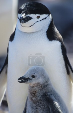Penguin chick with mother