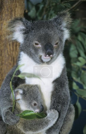 Koala baby with mother