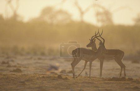 Two Gazelle side by side on savannah