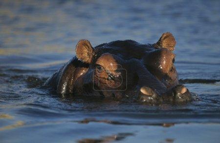 Hippopotamus bathing in waterhole