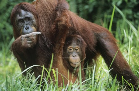 Orangutan holding young in grass