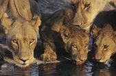 Lions drinking at waterhole