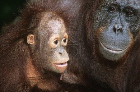 Orangutan with young