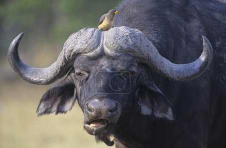 Cape Buffalo with bird on head