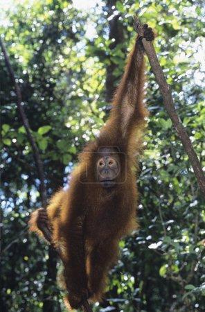 Orangutan howling