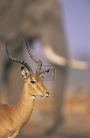 Gazelle with elephant in background