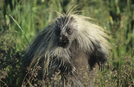 Porcupine in grass