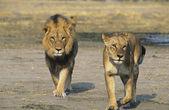Pair of Lions walking on savannah