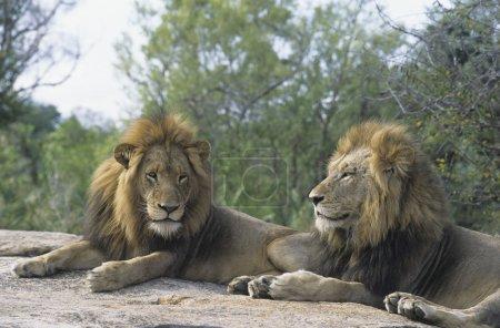 Lions lying on rock