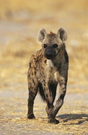 Photo for Spotted Hyena (Crocuta Cocuta) standing on savannah - Royalty Free Image