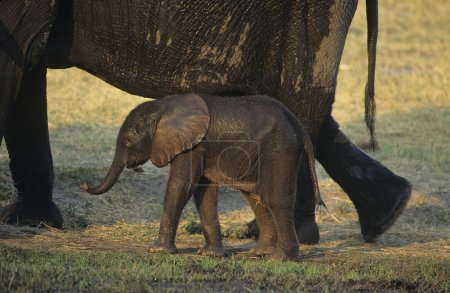 African Elephant with mother on savannah