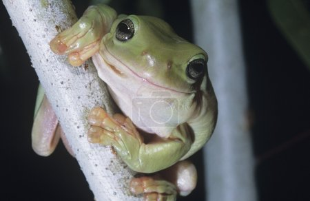 Green tree frog on branch