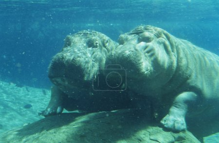 Two Hippopotami bathing in waterhole