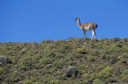 Llama standing on hillside