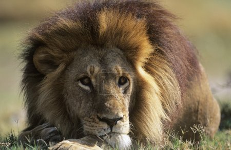 Male Lion lying on savannah