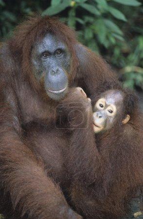 Orangutan embracing young