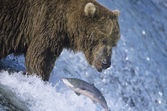 Grizzly bear swimming with fish