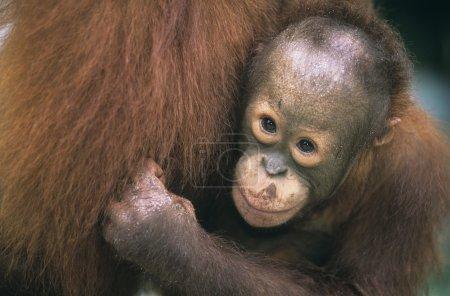 Orangutan embracing mother