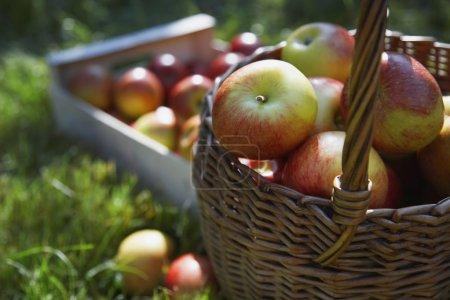 Photo pour Panier et caisse de pommes fraîches mûres cueillies sur l'herbe - image libre de droit