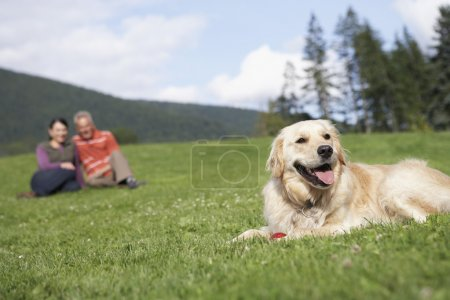 Golden retriever reclining in meadow