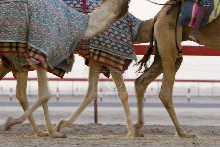 Camels running during training