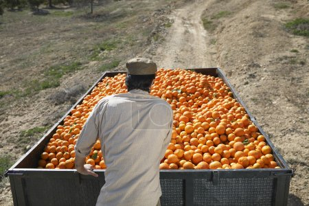 Farmer with harvested ripe oranges