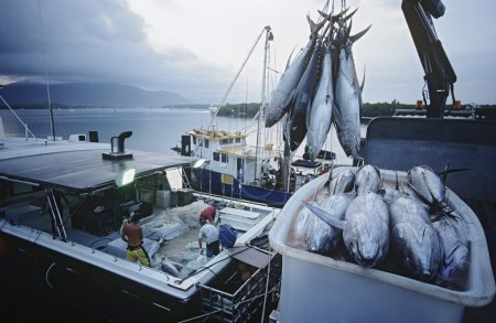 Tuna fish in container on boat