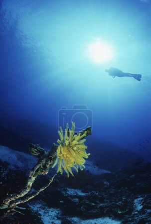 Feather star with silhouette of diver