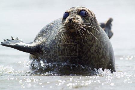 Photo pour Phoque couché en eau peu profonde - image libre de droit