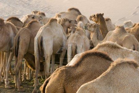 camels feeding at farm