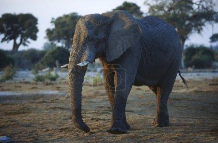 African Elephant wild animal