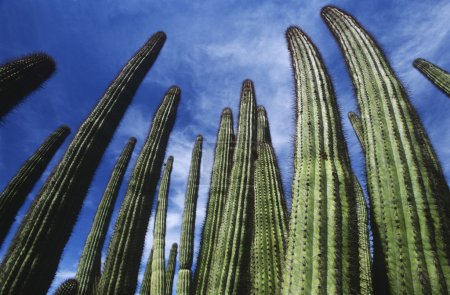 Organ Pipe Cactus against sky