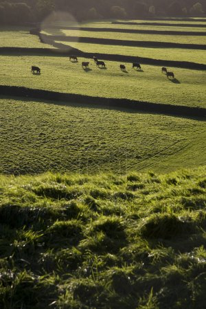 Cows on pasture in England