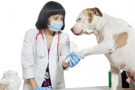 Photo for Female veterinarian holding dog's paw over gray background - Royalty Free Image