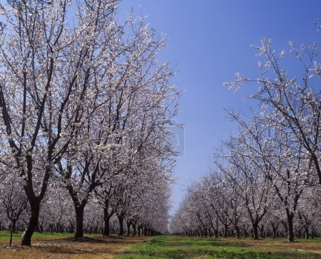Almond Orchard in blossom LeGrand Merced County California