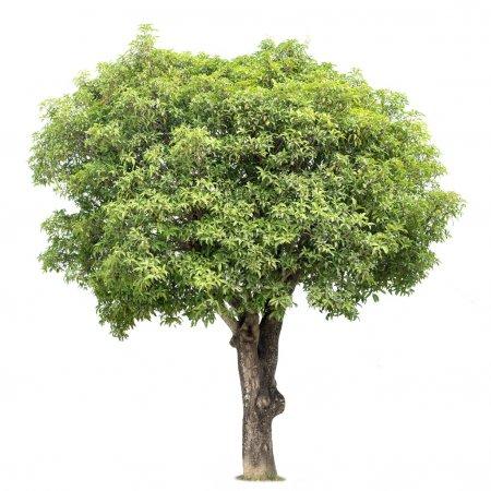 Photo for Mango Tree isolated on a white background - Royalty Free Image