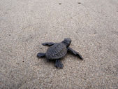 Baby sea turtle hikes through the sand to the sea