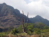 Large Dead Tree surrounded by other trees and brush and mountain